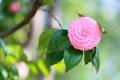 Картинка листья, розовая, ветка, камелия