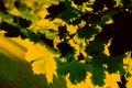 Картинка листья, макро, природа, фото, красивые обои для рабочего стола