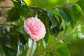 Картинка листья, ветки, камелия, цветение, розовый цветок, нежность