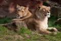 Картинка львица, трава, львы, кошка, камень