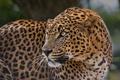 Картинка хищник, пятна, леопард, профиль, дикая кошка, настороженность