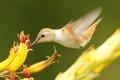 Картинка цветок, птица, клюв, колибри