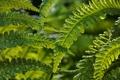 Картинка листья, папоротник, природа