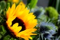 Картинка цветок, подсолнух, flower, sunflower