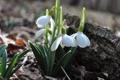 Картинка Цветы, весна, подснежники