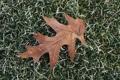 Картинка трава, листок, изморозь, дубовый