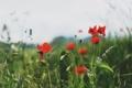 Картинка маки, красные, цветы трава