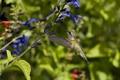 Картинка птица, полет, солнечно, колибри, синие, цветы