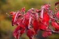 Картинка осень, листья, ягоды, ветка, красные