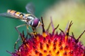 Картинка цветок, насекомое, macro, журчалка, hoverfly