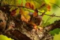 Картинка листья, белка, ветка, дуб, дерево