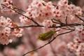 Картинка лето, ветки, природа, птица, цветение, японский, белый глаз