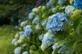 Картинка цветы, природа, синяя гортензия, цветущие кустарники