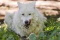 Картинка язык, белый, трава, волк, ©Tambako The Jaguar
