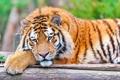 Картинка взгляд, морда, тигр, отдых, лапа, лежит, большая кошка