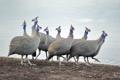 Картинка птицы, Африка, цесарки