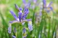 Картинка цветение, цветы, фиолетовый ирис, листики