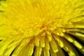 Картинка макро, жёлтый, одуванчик, лепестки