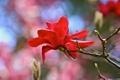 Картинка цветок, красный, ветка, магнолия