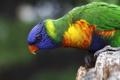 Картинка птица, попугай, многоцветный лорикет
