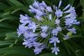 Картинка агапандус, цветы. голубые, зонтичные