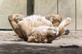 Картинка кошка, солнце, отдых, львица