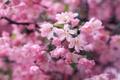 Картинка макро, цветы, ветки, нежность, красота, весна, лепестки