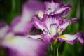 Картинка цветок, капельки, ирис, росинки