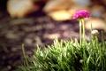Картинка цветок, трава, Indian Summer