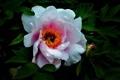 Картинка цветок, белая пиона, white peony, flower, листва, foliage