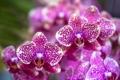 Картинка цветы, цветение, сиреневая, орхидея, flowers, Orchid, violet