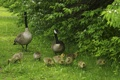 Картинка зелень, трава, птицы, прогулка, кусты, птенцы, на природе