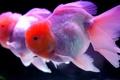 Картинка вода, аквариум, рыбка, золотая