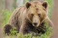 Картинка трава, взгляд, медведь, лежит, бурый