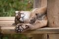 Картинка кугуар, сон, спит, пума, отдых, кошка