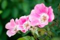 Картинка макро, розы, боке