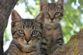 Картинка глаза, взгляд, коты, полосатые
