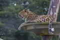 Картинка хищник, леопард, хвост, профиль, дикая кошка, зевает, зоопарк