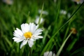 Картинка цветок, лето, природа, ромашка, травка, цветение