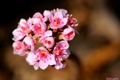 Картинка цветы, фон, розовые, соцветие, Hans Holt