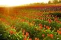Картинка закат, тюльпаны, Washington, LaConner