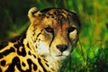 Картинка взгляд, морда, королевский гепард, king cheetah