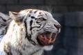 Картинка тигр, клыки, оскал
