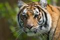 Картинка морда, тигр, портрет, хищник, дикая кошка