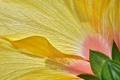 Картинка цветок, лепестки, гибискус