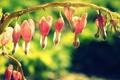Картинка цветок, ветка, розовые, разбитое сердце, дицентра