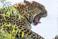 Картинка зевает, морда, ©Tambako The Jaguar, пасть, кошка, леопард