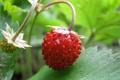 Картинка клубничка, земляничка, дичка, AWildStrawberry