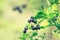 Картинка Макро, Зелень, Природа, Фото, Листья, Ветка, Ягоды
