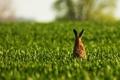 Картинка поле, трава, заяц